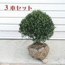 庭木:キンメツゲ(玉作り)3本セット*【お得!】 ☆人気トップクラスの庭木商品です!!
