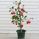 庭木:長寿りんご(長寿紅) 6寸 大きな実がながく楽しめます!