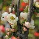 庭木:木瓜(関東絞り)