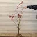 ☆送料無料☆ 庭木:山もみじ(モミジ) 樹高:約140cm 全高:約150cm ヤマト便(大型商品)発送!