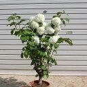 良品!庭木:オオデマリ 極太! (ポット植え)*花付き抜群です! ※5/13お花は終了いたしました。