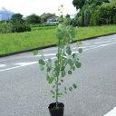 庭木:ユーカリ ポポラス(シルバーダラーガム) 樹高:100cm 全高:120cm