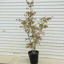 庭木:山もみじ(ヤマモミジ)太幹 紅葉の代表樹!