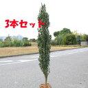 ☆送料無料☆ 庭木:スカイペンシル (ツゲ) 3本セット!! 樹高:約120cm 全高:約140cm