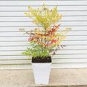 厄除けに!玄関前定番の樹!☆送料無料☆ 庭樹盆栽:紅白南天(鉢植え)