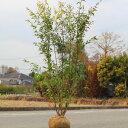送料無料! 庭木:ハイノキ(はいのき)  常緑樹 シンボルツリー ヤマト便大型商品発送!樹高140cm 全高:150cm