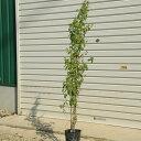 庭木:桂の木(カツラの木) 寄せ植え(2-3本) ! 樹高:約120cm