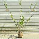 庭木:更紗うつぎ(サラサウツギ) *樹高:約70cm 2本セ...