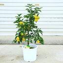 香りの良い人気果樹!柑橘・庭木:柚子(ユズ)本ゆず*6-7号 苗木