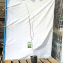 送料無料!苗/庭木苗:シラカバ(白樺)しらかば ジャクモンティ— 樹高:約120cm ヤマト便大型商品発送!