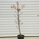 庭木:河津桜(かわつざくら)早咲き性の有名品種!