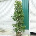 送料無料 庭木:山桃(やまもも)秀峰 常緑樹 シンボルツリー 樹高:約170cm 全高:約180cm