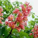 庭木:紅花トチノキ(紅花栃の木)とちのき 樹高:約120cm 全高:約140cm