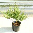 庭木:銀梅花(ギンバイカ) 大ポット マートル/ミルタス