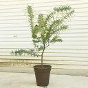 庭木・植木:銀葉アカシア(ミモザ)ギンヨウアカシア*ポット
