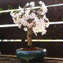 桜盆栽:特選吉野桜(大)(よしのさくら)*【あす楽対応】【さくら盆栽】