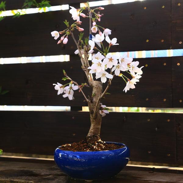 桜盆栽:特選吉野桜(よしのさくら)