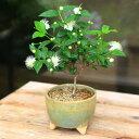 小品盆栽:銀梅花(ぎんばいか)(ギンバイカ)(信楽焼緑丸鉢)*祝いの木