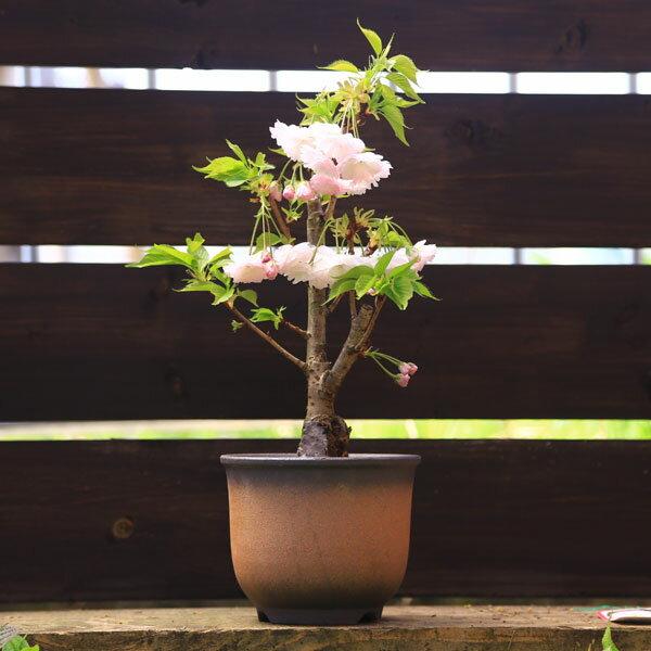 松月桜(しょうげつざくら)