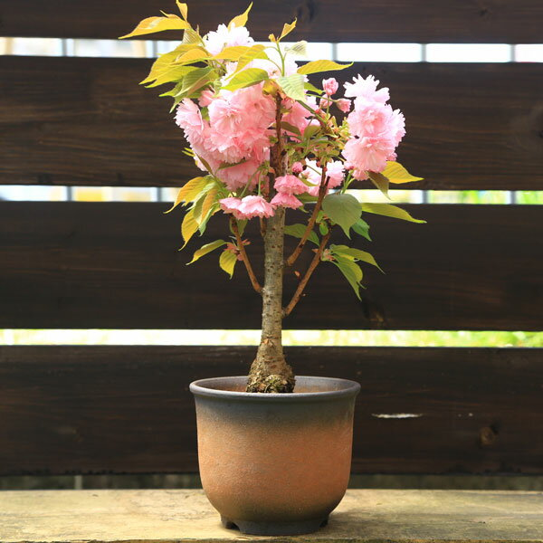 楊貴妃桜(ようきひざくら)