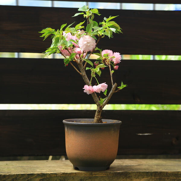 紅華桜(こうかざくら)