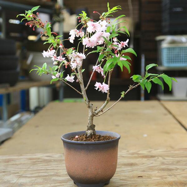 おしどり桜(富士桜)