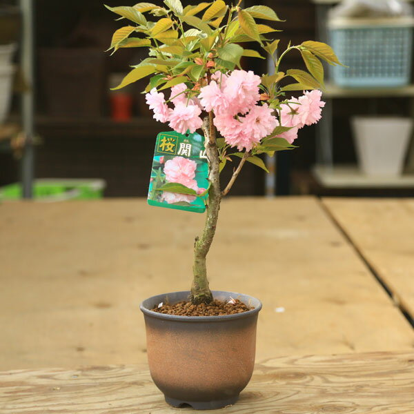 関山桜(せきやま/かんざん)