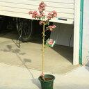 庭木:紅花八重サンザシ(さんざし)