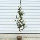 庭木:サザンカ(さざんか)富士の峰 *樹高:約120cm 全高:約150cm ヤマト便大型商品発送!