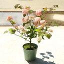庭木:オオデマリ(ジェミニ)5寸...