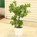 香りの良い人気果樹!柑橘:柚子(ユズ)ゆず*7号 苗木