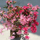 庭木:久留米つつじ/クルメツツジ (新常夏) 複数の色が混じる絞り咲き!