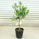 送料無料!果樹苗:キンカン(種なし金柑)ぷちまる ぷち丸*接木苗 樹高60cm