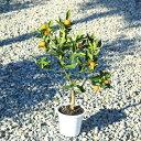 送料無料!果樹苗:キンカン(種なし金柑)ぷちまる ぷち丸*接木苗 樹高50cm