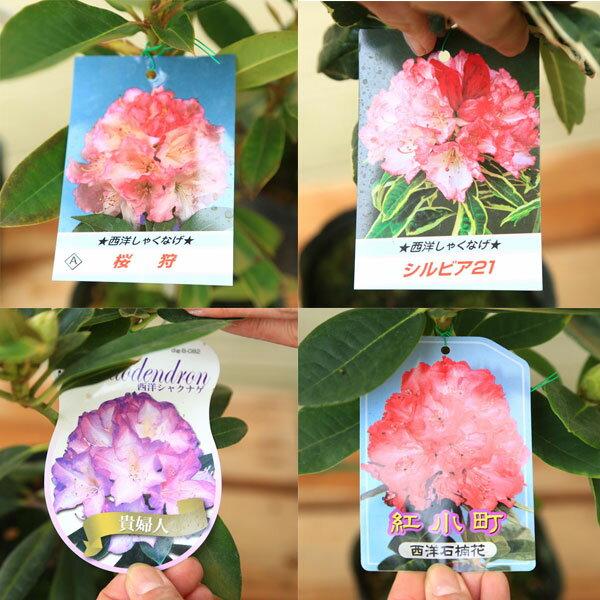 花木 苗:西洋シャクナゲ(石楠花)* 各種!(...の紹介画像3
