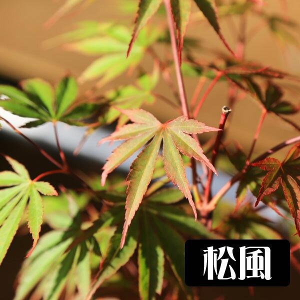 小品盆栽:世界のもみじ盆栽(紅葉)(モミジ)お...の紹介画像2