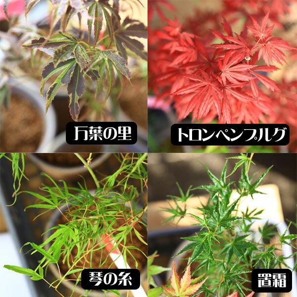 小品盆栽:世界のもみじ盆栽(紅葉)(モミジ)お気...の商品画像