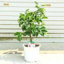 果樹・植木・庭木:特良品!カボス(かぼす)/臭橙、香母酢* 苗木