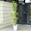 特選庭木・植木:長寿りんご(リンゴ)(長寿紅りんご)全高160cm 樹高140cm 送料無料! 赤い実が長く続く縁起の良い木です!