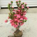 庭木:久留米つつじ/クルメツツジ おいのめざめ(老の目覚め)*桃花一色の植えやすい色合い