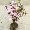 庭木:久留米つつじ/クルメツツジ いってん(一天)薄桃色の控えめな花色