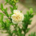 庭木・植木苗:白花ざくろ(しろばなざくろ)*ザクロの珍品です!