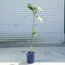 庭木:ポポー(ポット)* 品種をお選びください! 樹高70cm*プロリフィック,タイトゥー,サンフラワーなど