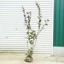 庭木:アメリカコデマリ (ディアボロ) ...