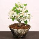 【あす楽 ギフト】小品盆栽:姫りんご*(瀬戸焼変形鉢)【送料無料】bonsai