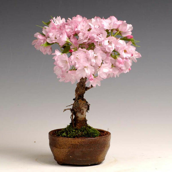 日本盆景 老樱桃树 信乐陶瓷小碗 明天-樱桃树盆景 樱桃树盆景图片欣图片