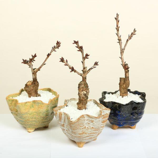 桜盆栽:鉢色選べるミニ一才桜(信楽花型小鉢)*【...の商品画像
