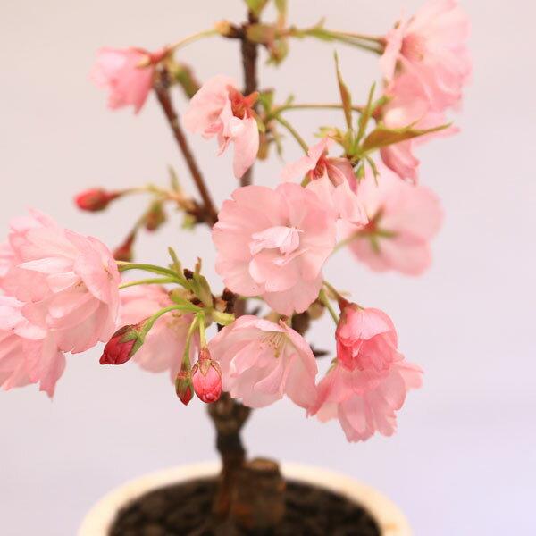 桜盆栽:鉢色選べるミニ一才桜(信楽花型小鉢)*...の紹介画像2