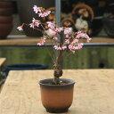 桜盆栽:おかめ桜*オカメザクラ【2018年葉姿でお届け】