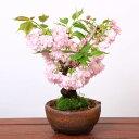 桜盆栽:牡丹桜丸鉢(瀬戸焼鉢)*ぼたん桜【春開花】